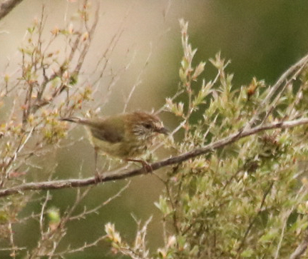 Brown Thornbill - Danika Sanderson