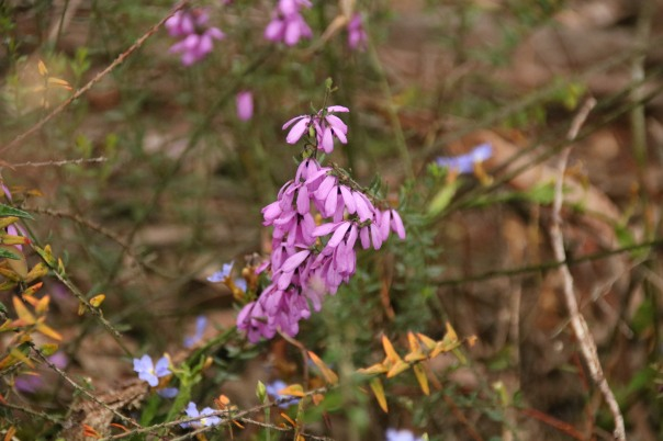 Flowers - a pink tetratheca and a pea - Danika Sanderson