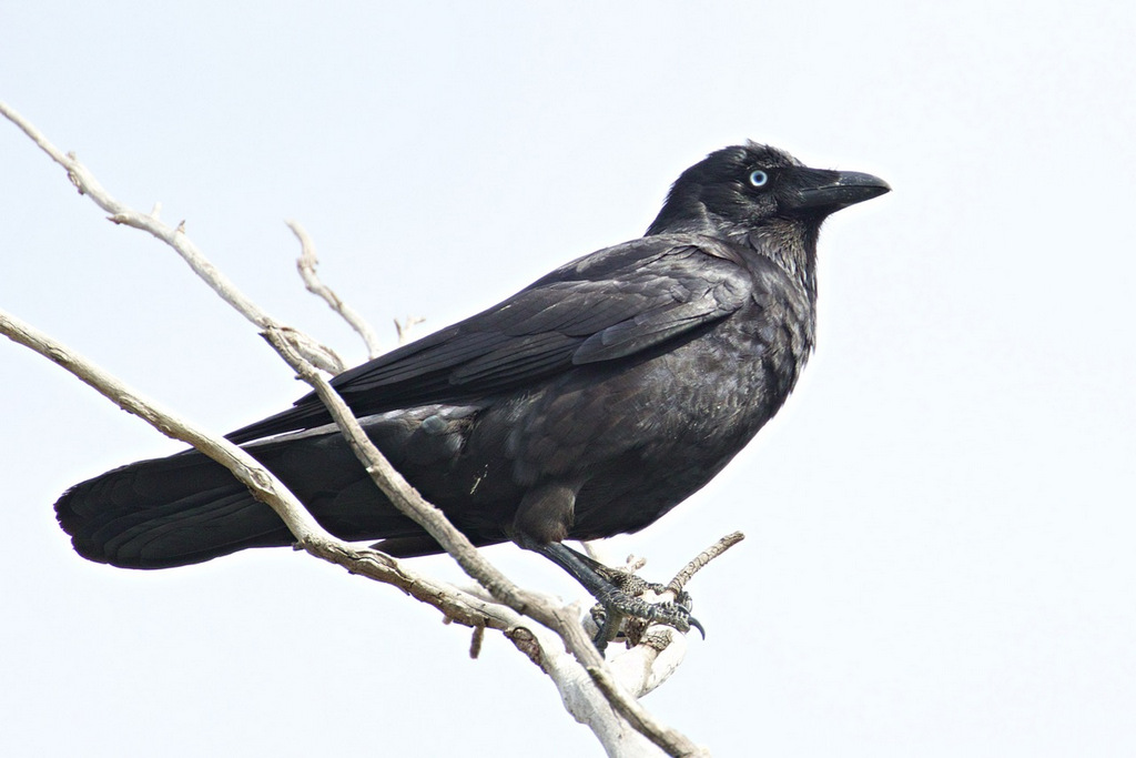 Little Raven, Hawkstowe Park