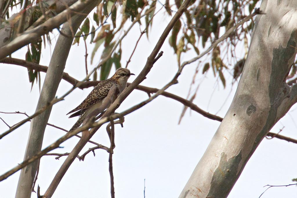 Pallid Cuckoo, Hawkstowe Park