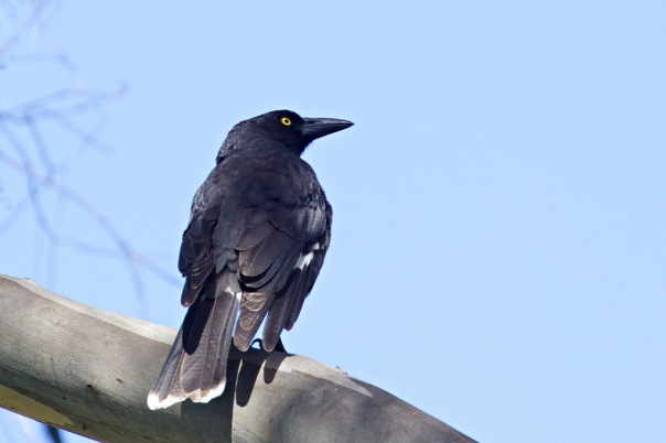 Pied Currawong, Hawkstowe Park