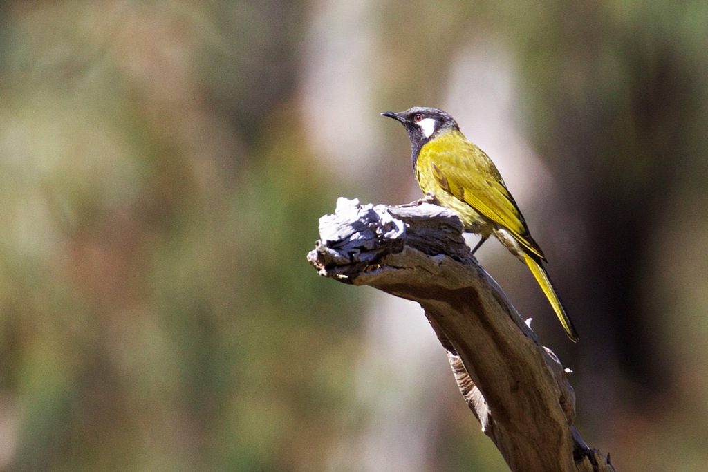 White-eared Honeyeater, Hawkstowe Park
