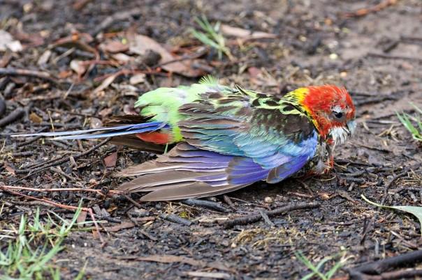 Eastern Rosella (juvenile) Pound Bend