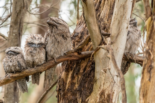 Family Tawny Frogmouth - Bevan Hood