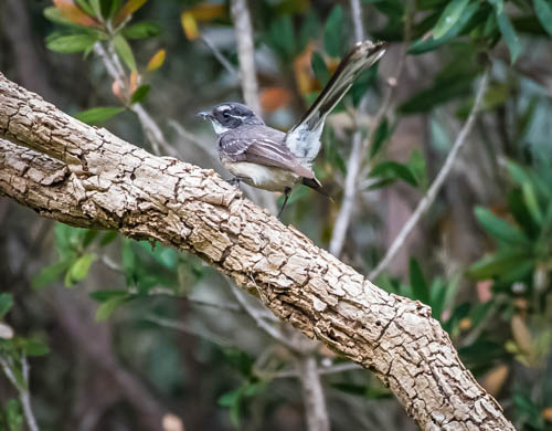 Grey Fantail - Graeme Dean