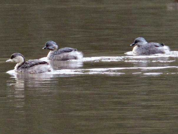 Hoary-headed Grebes - Eleanor Dilley