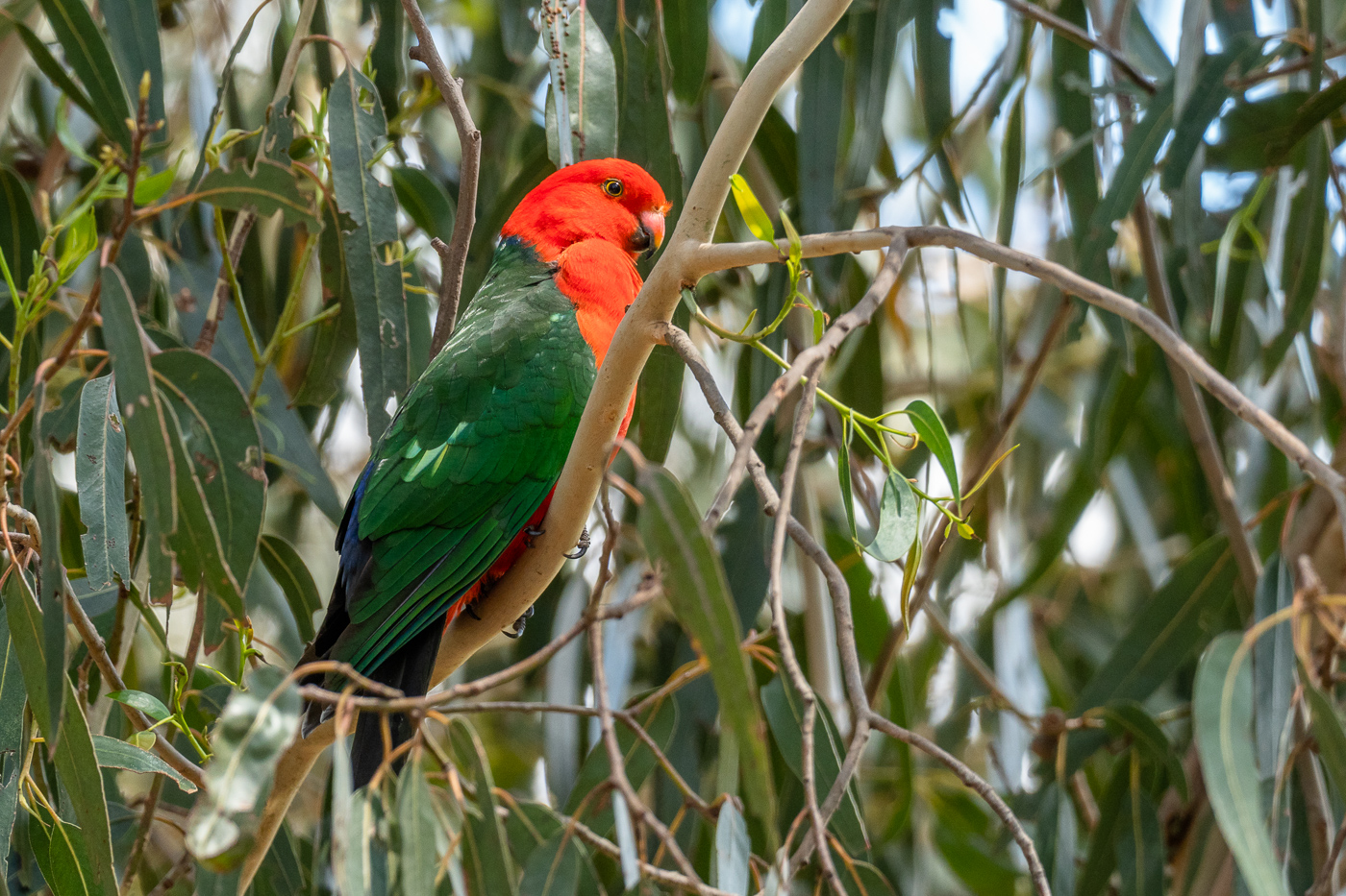 King Parrot - Bevan Hood