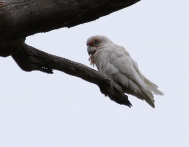 Long-billed Corella - Danika Sanderson