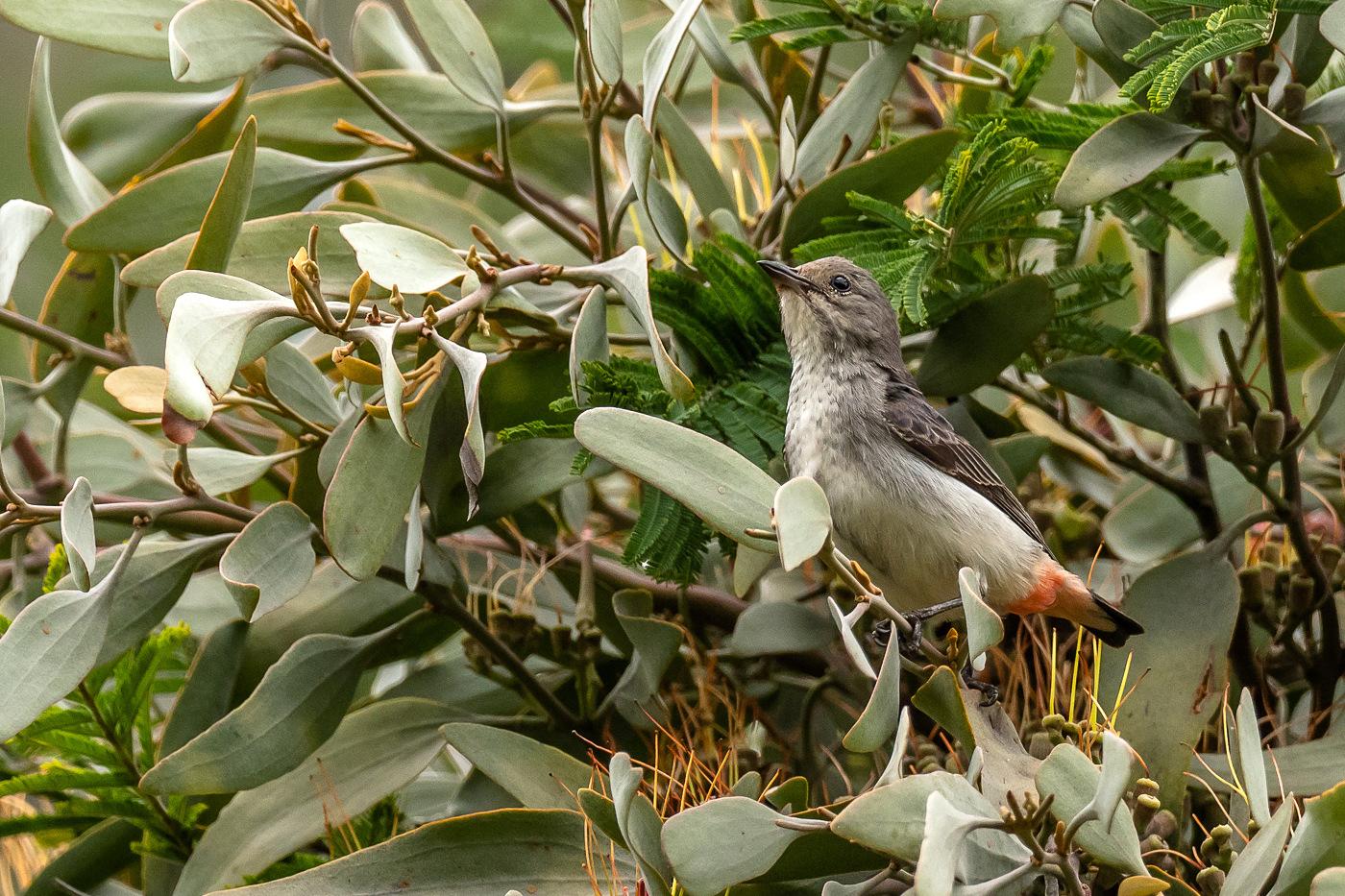 Mistletoebird - f - Bevan Hood