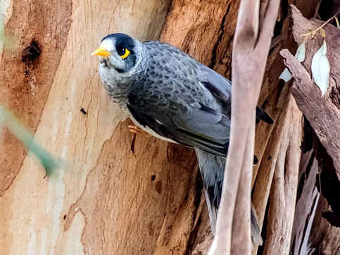 Noisy Miner - Graeme Dean