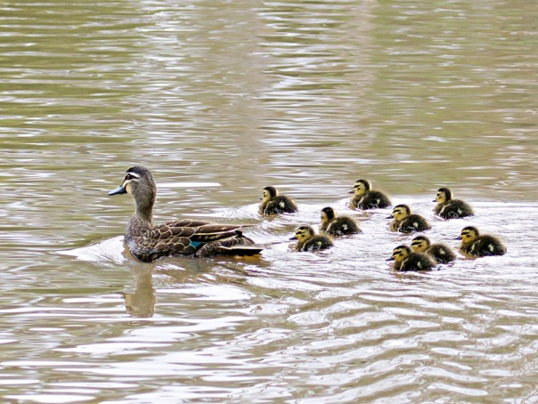 Pacific Black Duck and chicks - Eleanor Dilley
