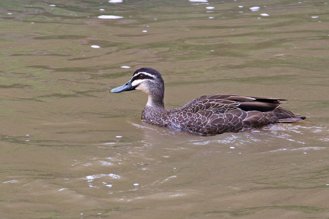 Pacific Black Duck Pound Bend