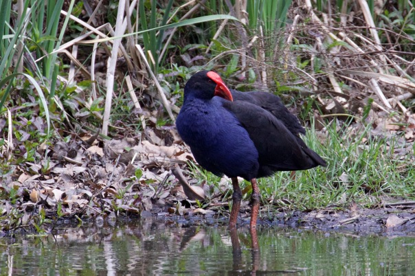 Purple Swamphen - Eleanor Dilley