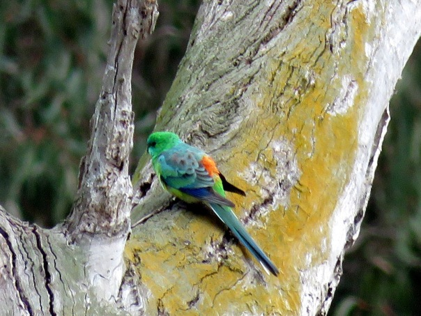 Red-rumped Parrot - Alan Veevers