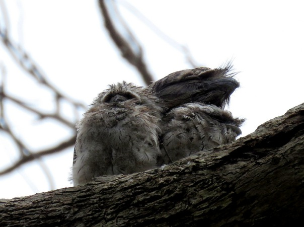 Tawny Frogmouth - Alan Veevers - 2