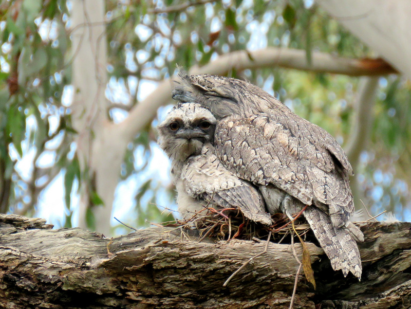 Tawny Frogmouth - Alan Veevers