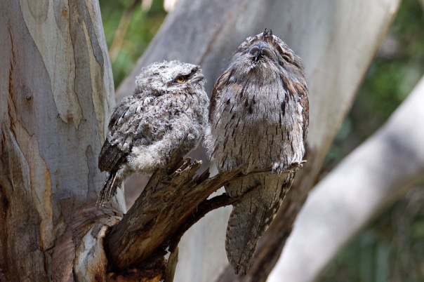 Tawny Frogmouth and chick - Eleanor Dilley