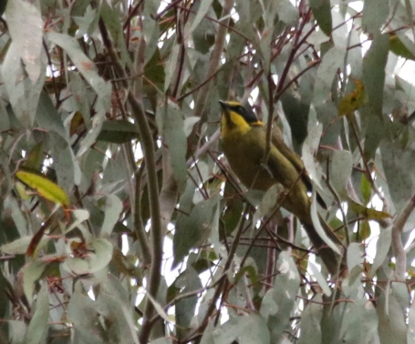 Yellow-tufted Honeyeater - Danika Sanderson