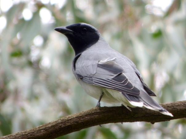 Black-faced Cuckoo-shrike - katmun loh