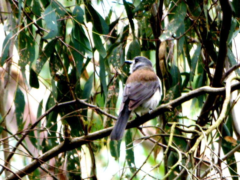 Grey Shrike-Thrush - katmun loh