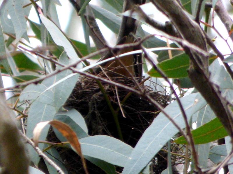 Rufous Whistler, male on nest - katmun loh