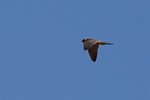 Australian Hobby - Eleanor Dilley