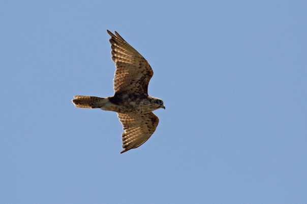 Brown Falcon - Eleanor Dilley