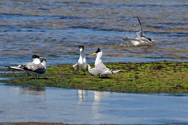 Crested Terns - 1 - Eleanor Dilley
