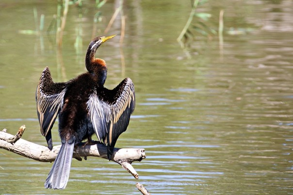 Australasian Darter - Eleanor Dilley