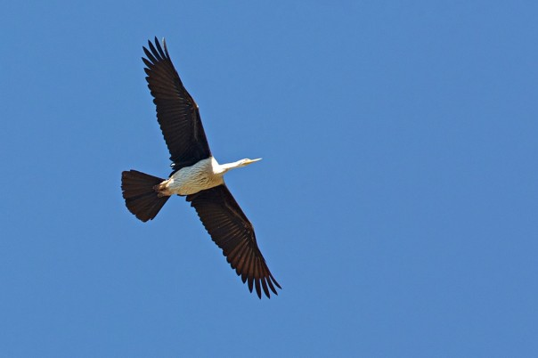 Australasian Darter -Eleanor Dilley