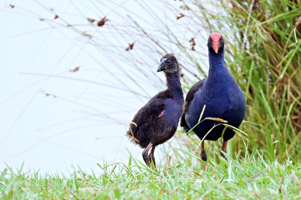 Australasian Swamphen and chick 2 Eleanor Dilley