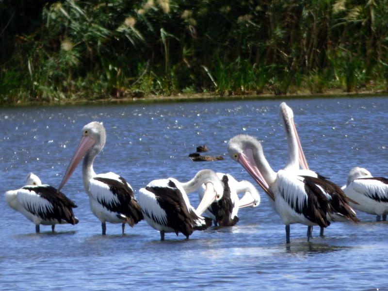 Australian Pelicans - Katmun Loh