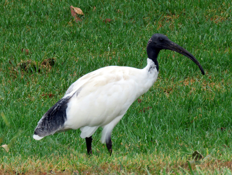 Australian White Ibis - Alan Veevers