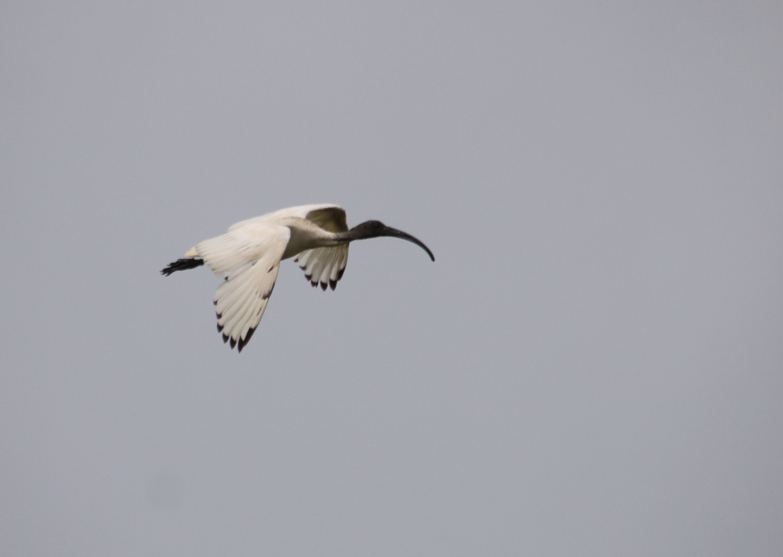 Australian White Ibis - Danika Sanderson