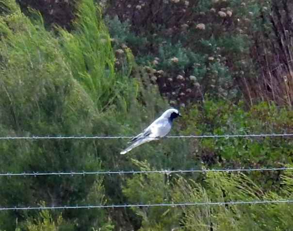 Black-faced Cuckoo-shrike - D Tweeddale v2
