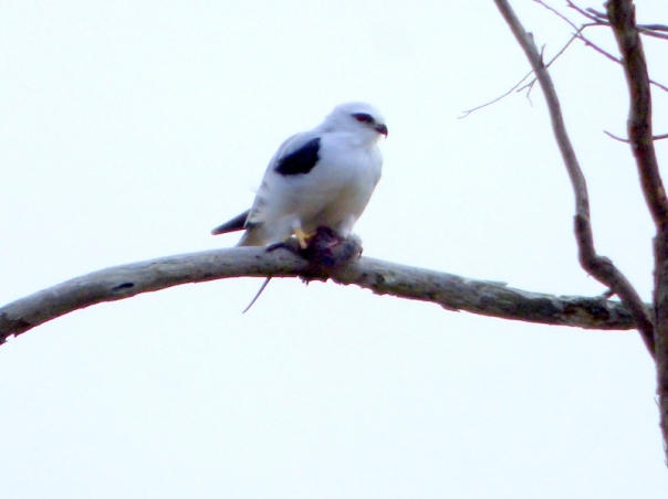 Black-shouldered Kite with prey - Katmun Loh