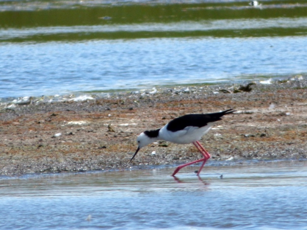 Black-winged Stilt - Katmun Loh