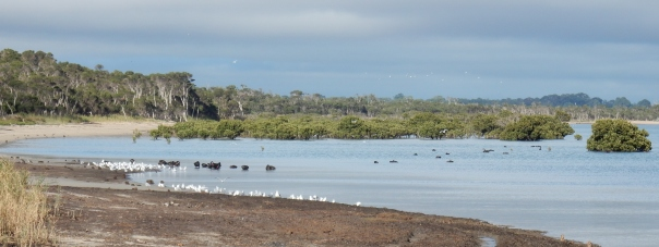 Foreshore with Black Swans, Silver Gulls, mangrove - D Tweeddale