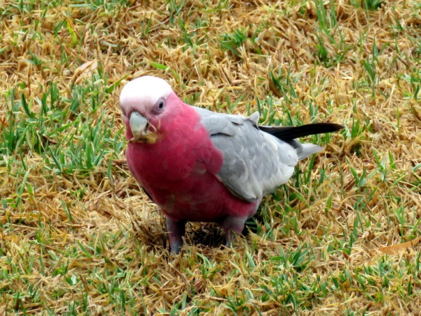 Galah - Alan Veevers