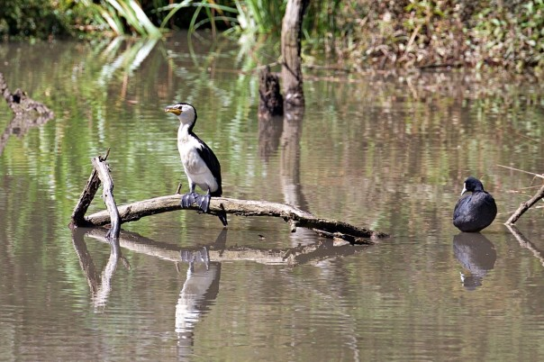 Little Pied Cormorant, Eurasian Coot - Eleanor Dilley