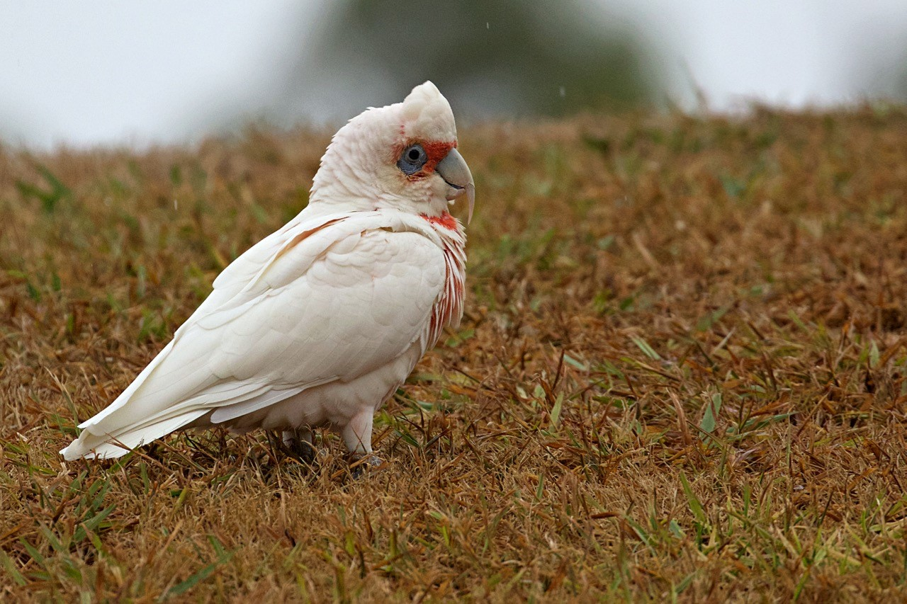 Long-billed Corella - Eleanor Dilley