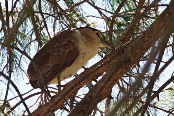 Nankeen Night-heron - E Dilley