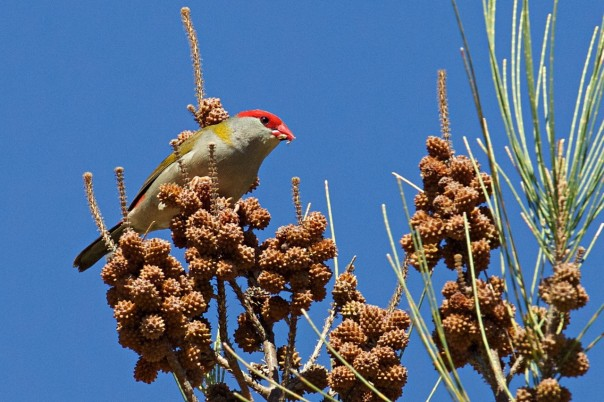 Red-browed Finch - E Dilley.jpg