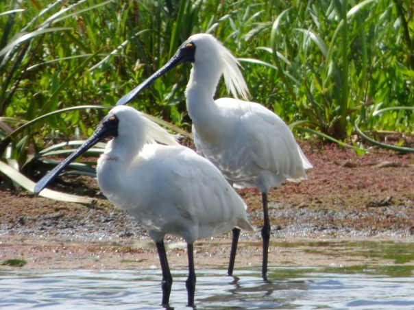 Royal Spoonbills in breeding plumage - Katmun Loh.JPG