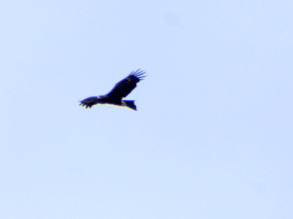 Wedge-tailed Eagle - Katmun Loh