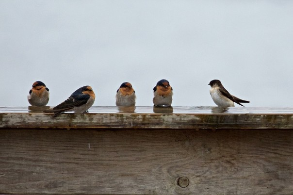 Welcome Swallows and Tree Martin - Eleanor Dilley