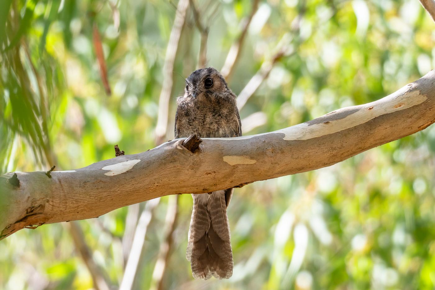 Australian Owlet-nightjar 1 - Bevan Hood