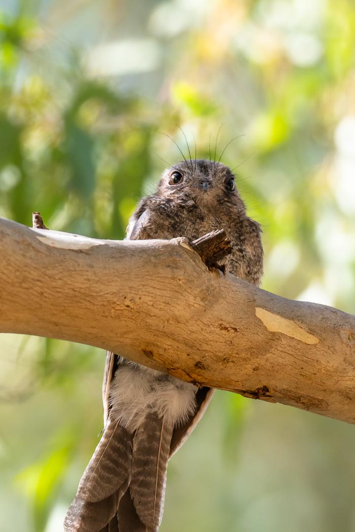 Australian Owlet-nightjar 2 - Bevan Hood