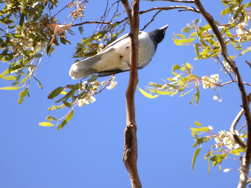 Black-faced Cuckoo Shrike - Katmun Loh