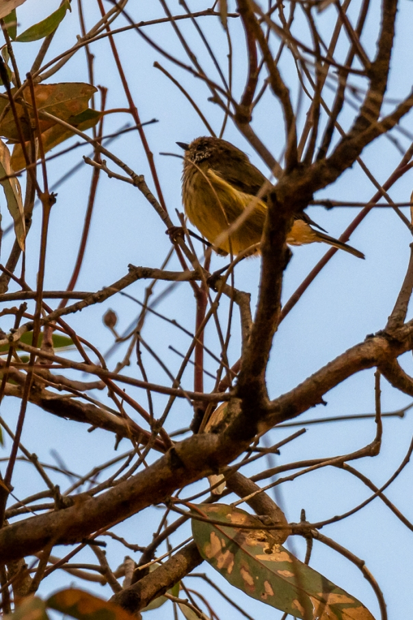 Brown Thornbill? - Bevan Hood